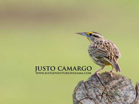 Wild Bird Photograph: Eastern Meadowlark