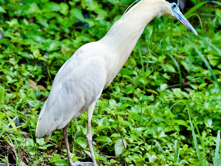 From the Field:  The Elusive Capped Heron at Metropolitan Nature Park