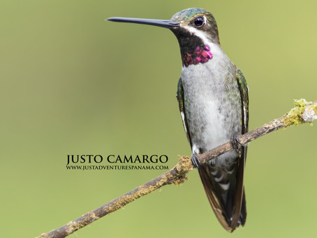 Jewel of the Sky: Long-billed Starthroat
