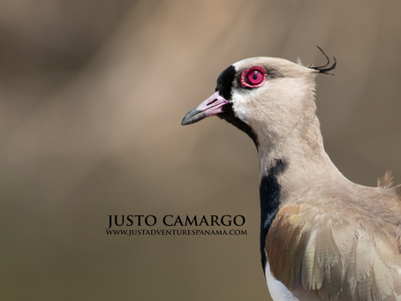 From the Field: Southern Lapwing