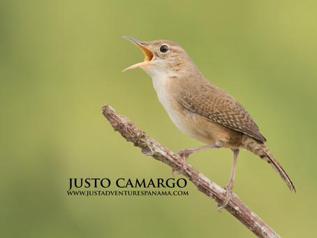 The House Wren's: Singing Behavior