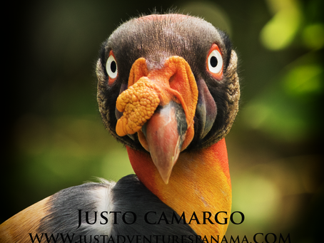 The King Vulture (Sarcoramphus papa)