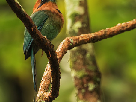 From the Field: Broad-billed Motmot