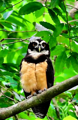 Birding Tours Birdwatching Tours Panama