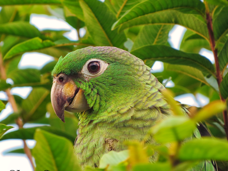 From the Field: Mealy Parrot