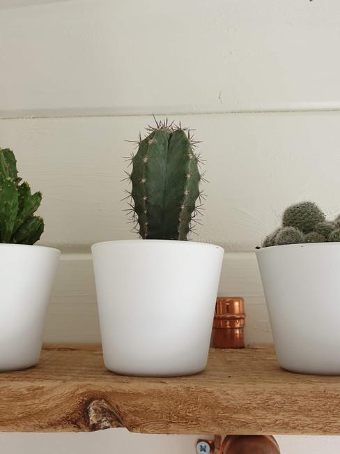 Three spikey plants