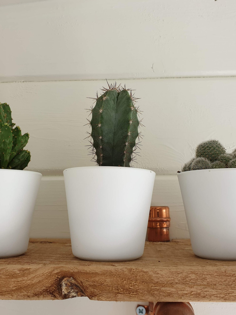 Three spikey plants