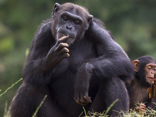 The Joy of Life: A Simian Perspective