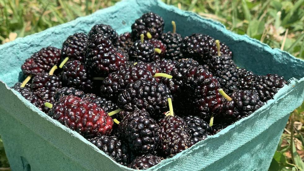 Mulberries, pint