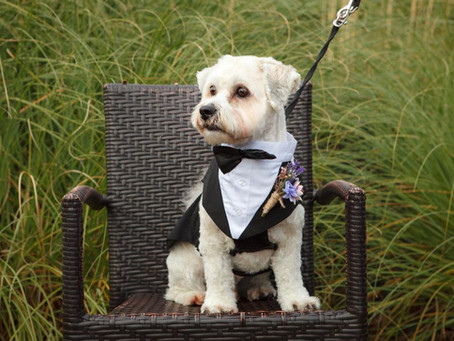 Dog chaperoning for your wedding by Pamper My Poochie
