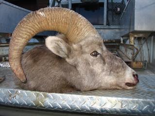 Disturbing poaching case in Coleman