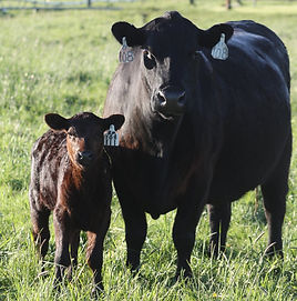 Rainmaker 340 heifer and her momma_edite