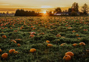 Pumpkin-Patch-Exeters1-small.jpg