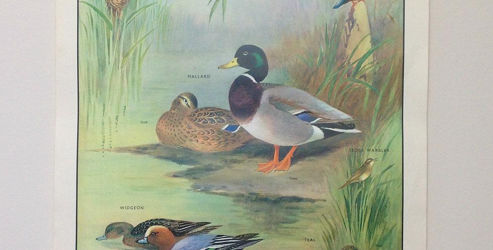 Birds of the Waterside II wall chart