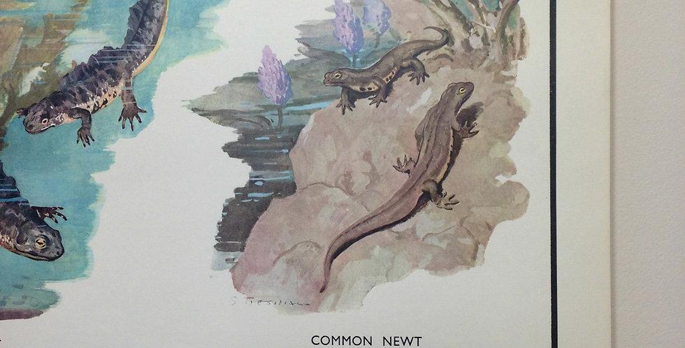 Amphibious animals wall chart