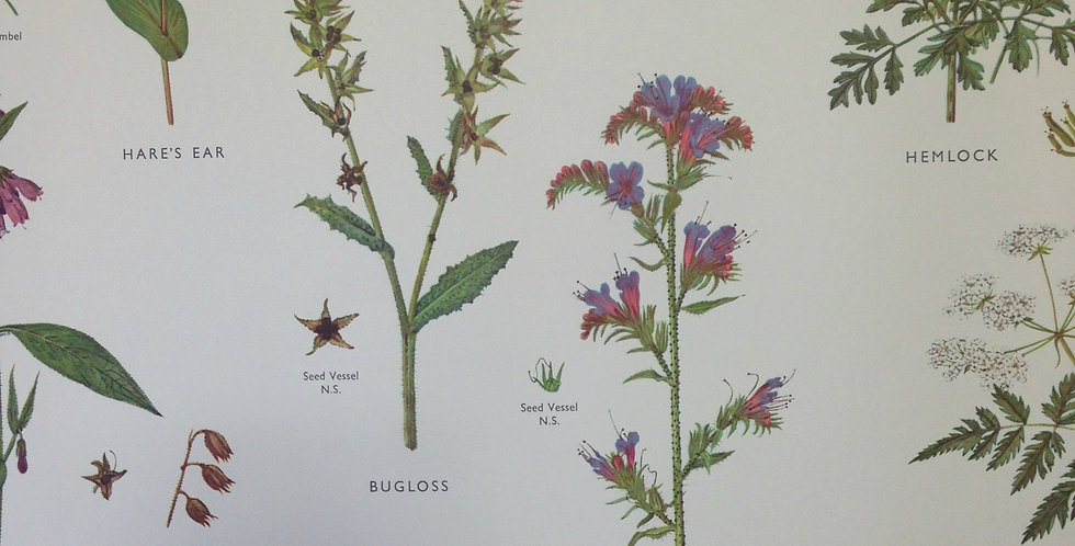 Forget-Me-Not and Parsley wallchart