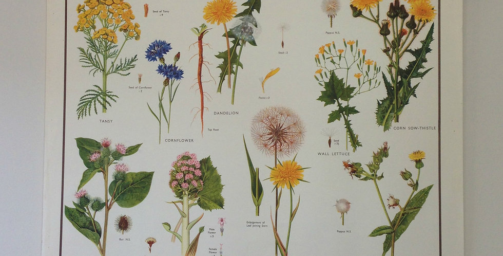 Daisy Family III wallchart