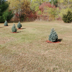Tree Planting Project With Red Mulch