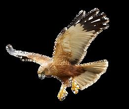 Birds - Mix flying Common Raven (Corvus corax), Common Buzzard (Buteo buteo) and Marsh Har