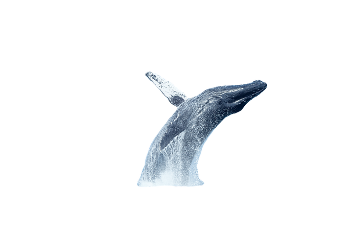 Big Humpback Whale Breaching Out of Water in ocean_edited_edited.png