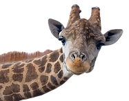 Giraffe head face isolated on white back