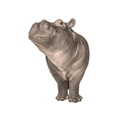 Hippo calf, 3 months old, isolated, Hipp