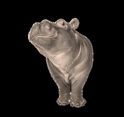 Hippo calf, 3 months old, isolated, Hippopotamus amphibius_edited_edited.png
