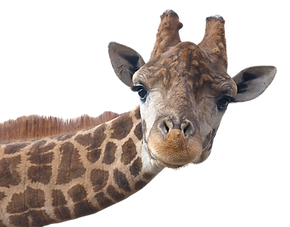 Giraffe head face isolated on white background_edited_edited.png