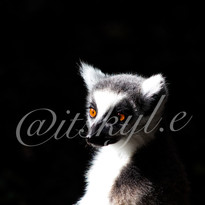 lemur wartemark.jpg