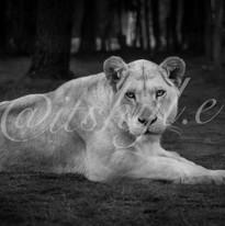 lion Wartermark.jpg