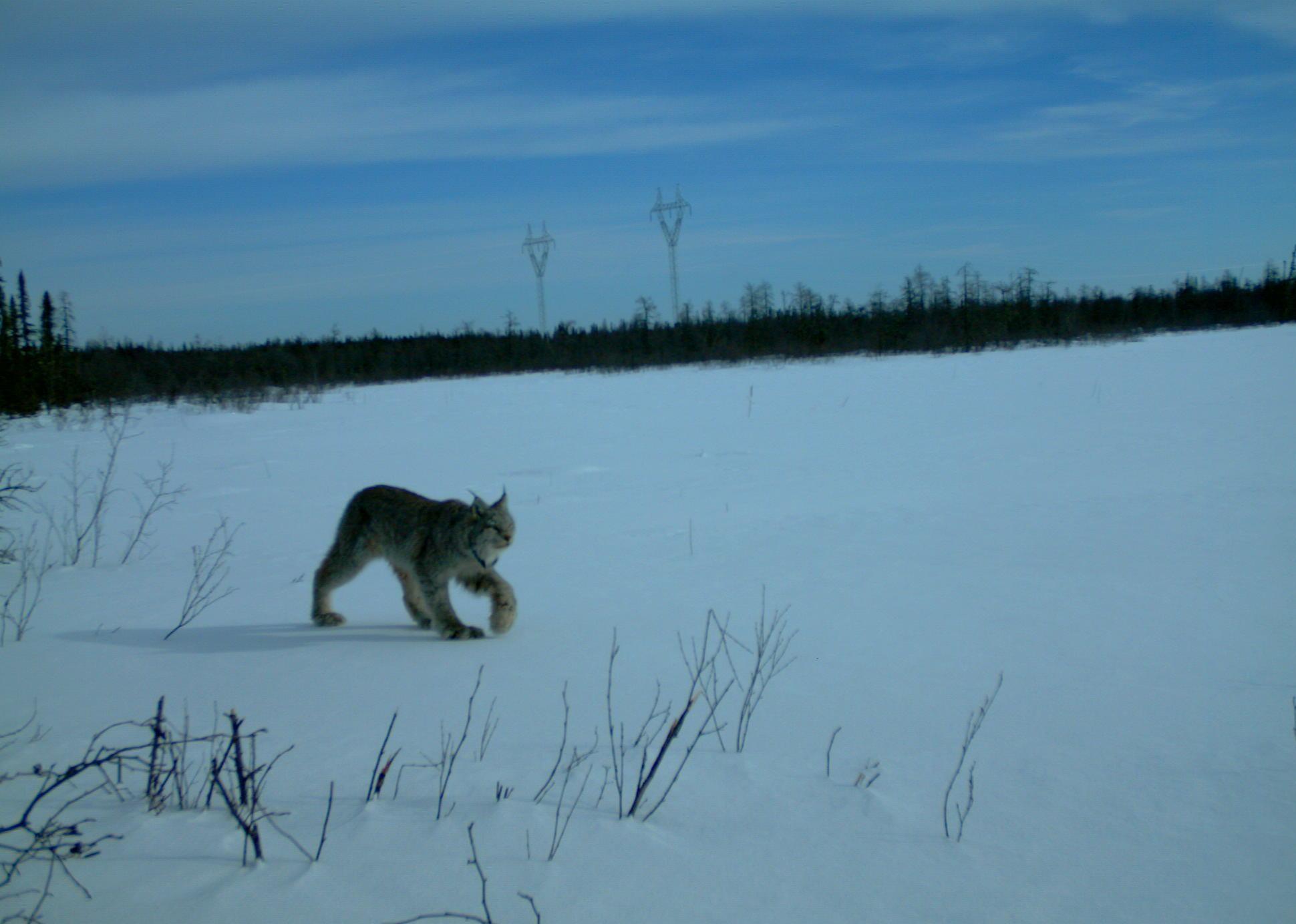 cropped lynx
