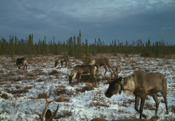 cropped caribou