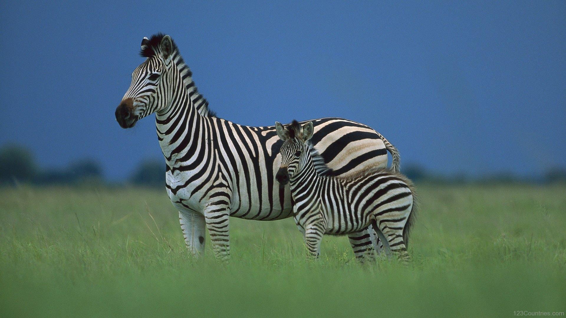 Botswana zebras