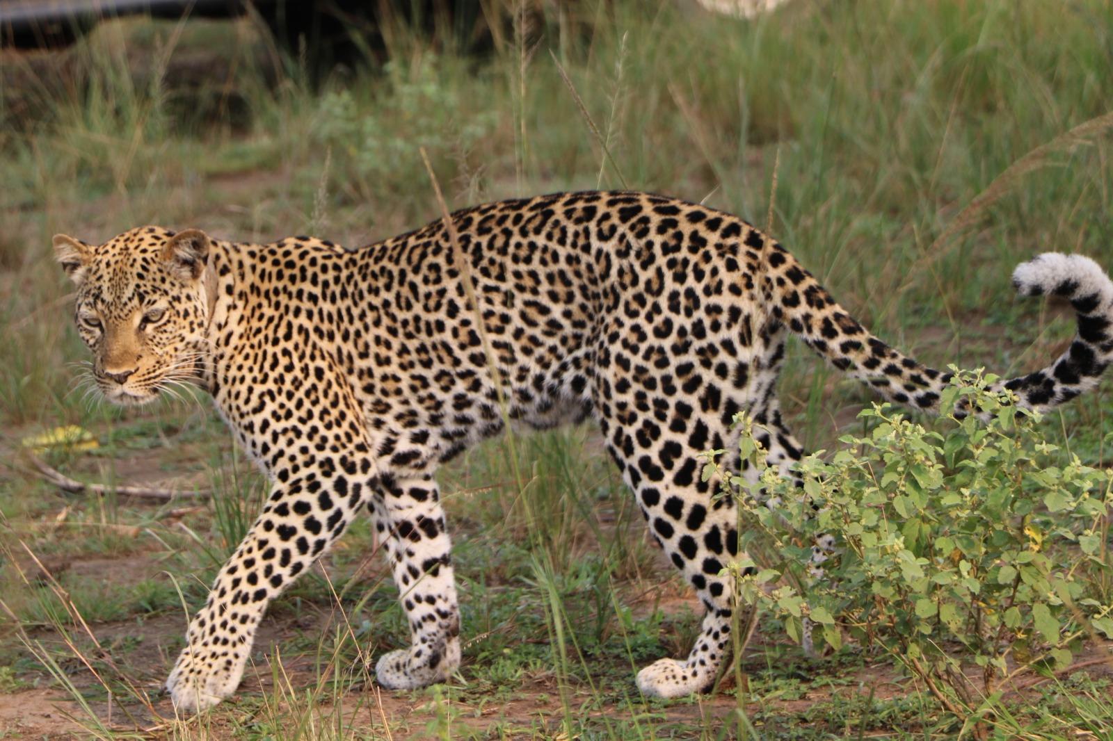 Leopardo Murchison (2)