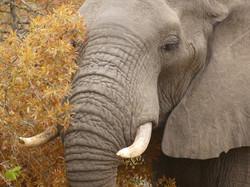 Elefante - Sabi