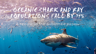 Oceanic Shark and Ray Populations Decline by 71%. Let's Dive In!