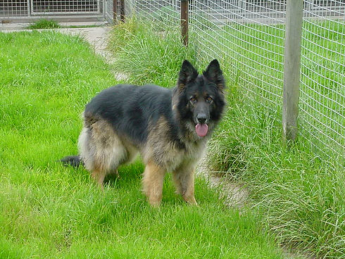 German Shepard in a field next to a fence