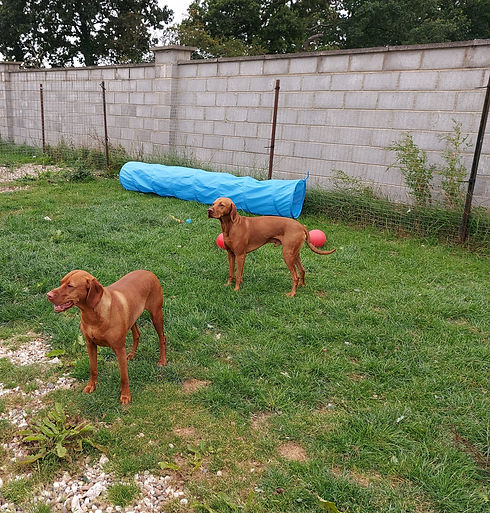 two brown dogs outside with a big concrete wall
