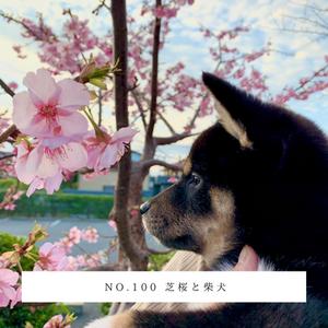 No.100 芝桜と柴犬.png