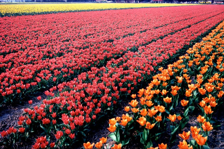 banner_tulips