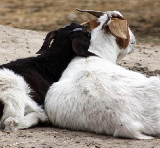 goats-1024x521.png