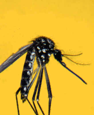 aedes.png