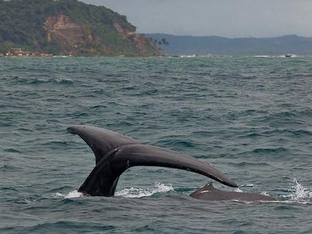 Baleias vindas da Antártida começam a chegar em Morro de São Paulo e Boipeba