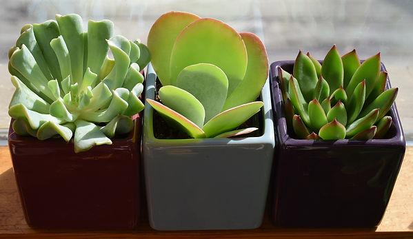 succulent-trio-2026503_1920.jpg