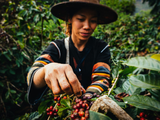 Dünya Kahveleri Hasat Zamanları