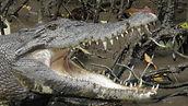 F2 - Daintree Croc Bruce .jpg