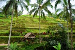 Ceking Rice Terrace, Tegallalang
