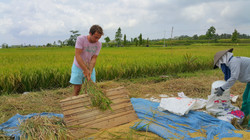 Experience harvesting paddy