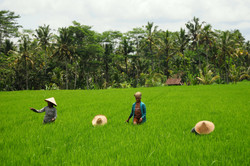 Workers on the rice field