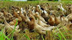 Ducks on the sawah